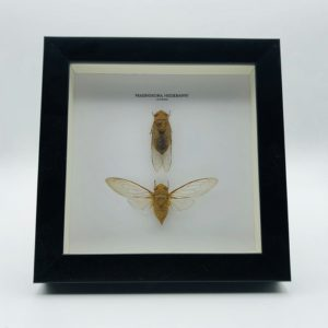 Wooden frame with 2 cicada (Prasinosoma Heidemanni)