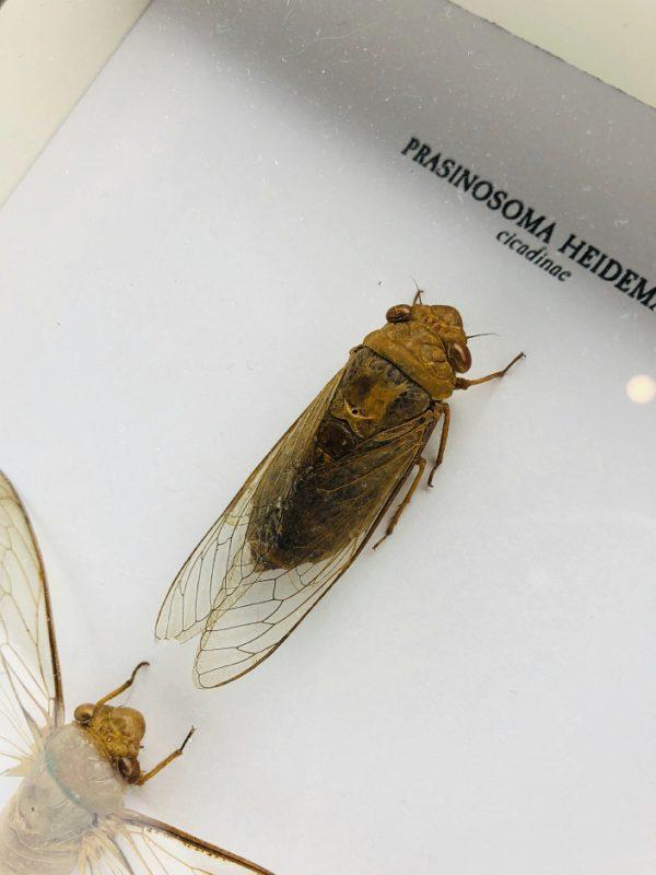Wooden frame with 2 cicada (Prasinosoma Heidemanni)