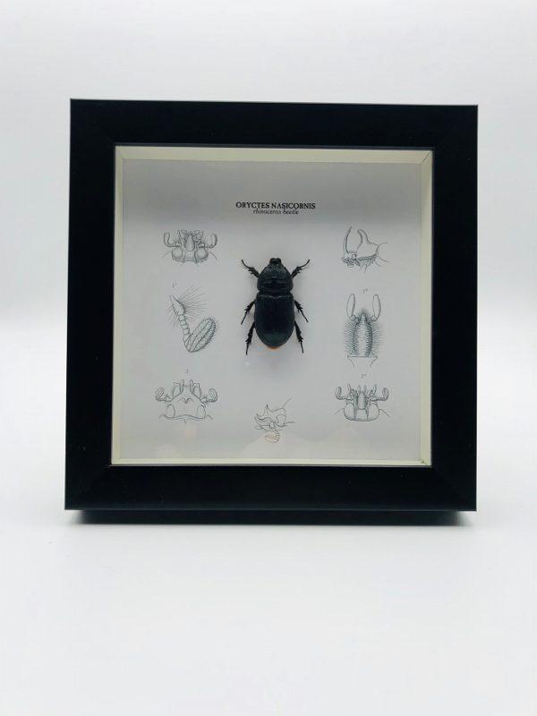Wooden frame with rhino beetle (Oryctes Nasicornis)