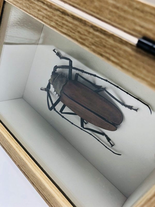 Real insect curious education box (Callipogon Armillatus)