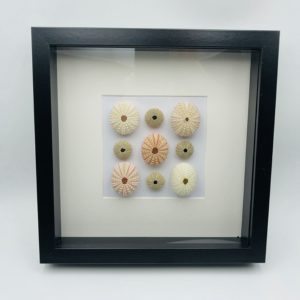 Wooden frame with 9 real sea urchins (Echinoidea)