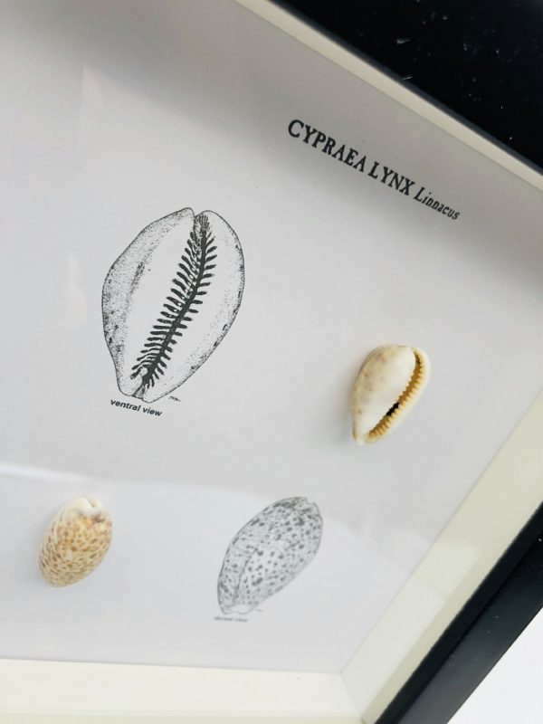 Wooden frame with 2 cypraea shells and illustrations (Lyncina lynx)