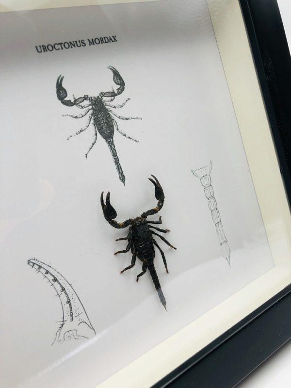 western forest scorpion (Uroctonus Mordax)