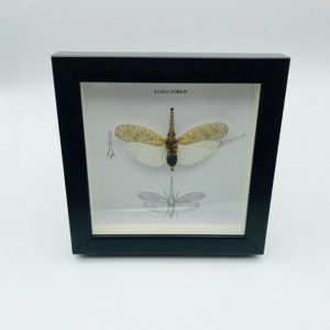 Wooden frame with lantern bug (Zanna Nobilis)