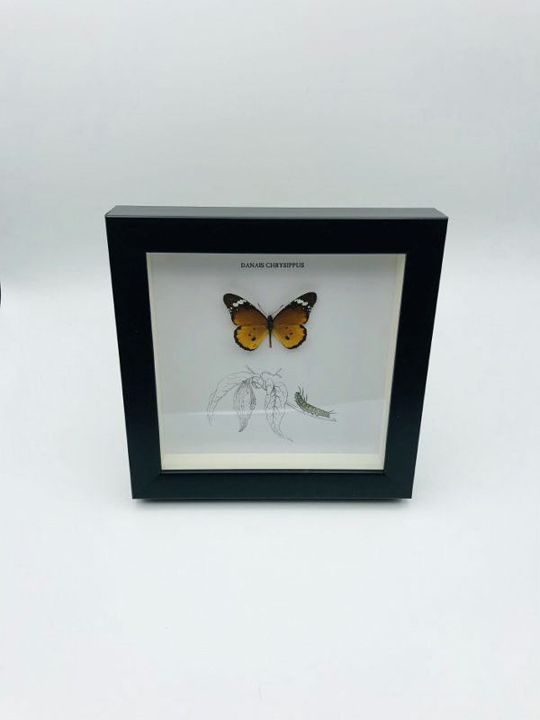 Wooden frame with plain tiger butterfly (Danais chrysippus)