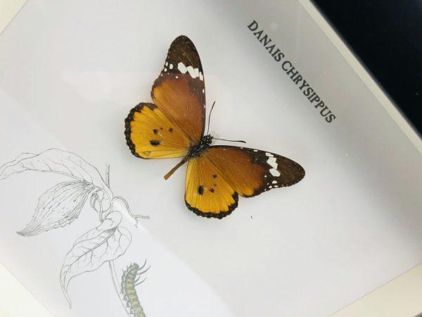 Wooden frame with plain tiger butterfly (Danais chrysippus)