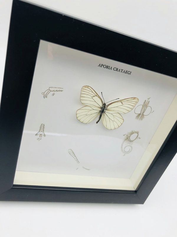 Wooden frame with a black-veined butterfly (Aporia crataegi)