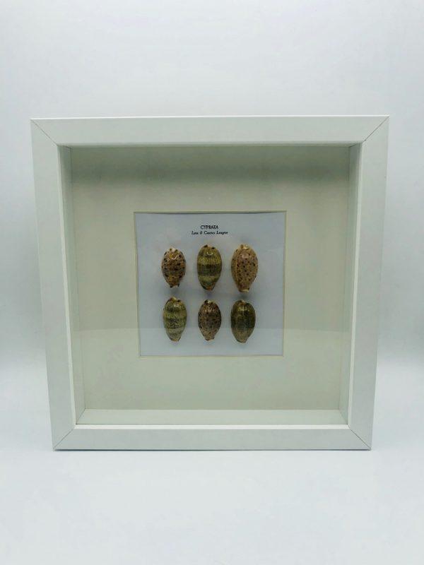 Wooden frame with 6 cypraea Lynx & Caurica Longior