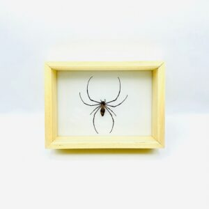 Nephilia Pilipes Bali (golden orb weaver) boxed