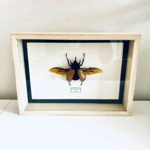 Large frame with very large spread five-horned rhinoceros beetle