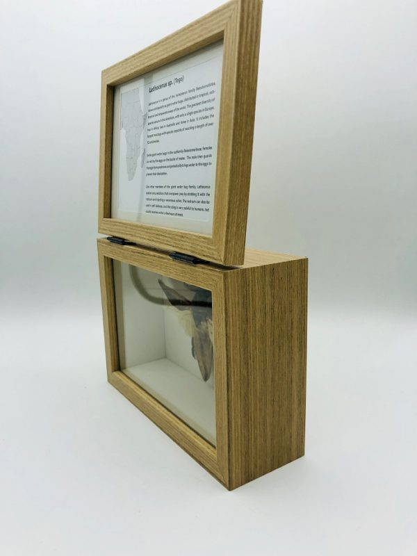 Real insect curious education box (Lethocerus Sp.)