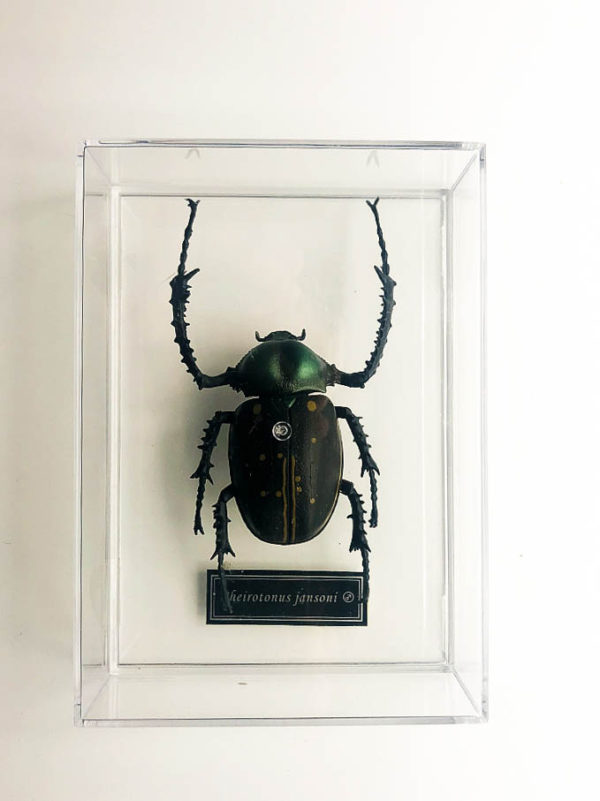 Exact insect replica of Long-armed Scarab (Cheirotonus jansoni)