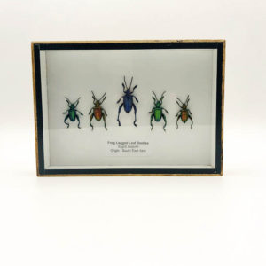 Taxidermy box with 5 beetles (Sagra Buqueti)
