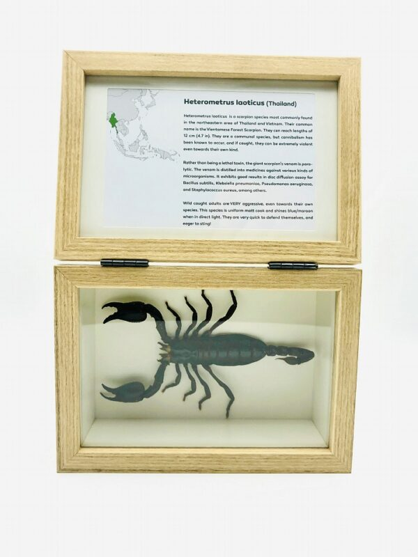 Real insect curious education box (Heterometrus laoticus)