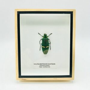 Framed Ivory-Banded Emerald Jewel Beetle