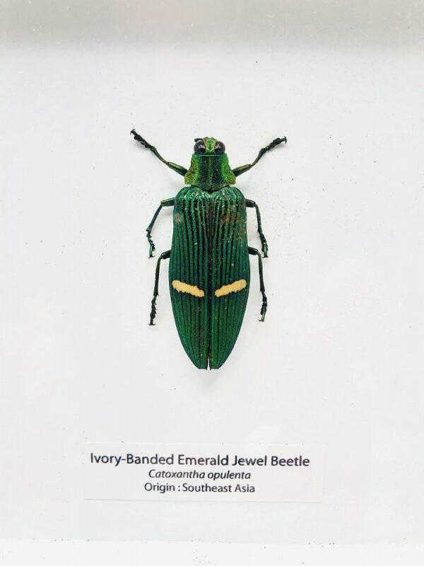Framed Ivory-Banded Emerald Jewel Beetle