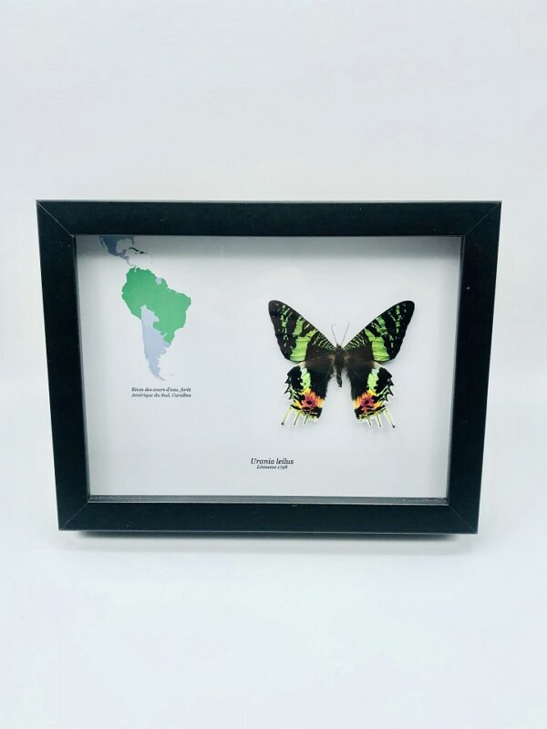 Educational shadow frame with green-banded Urania