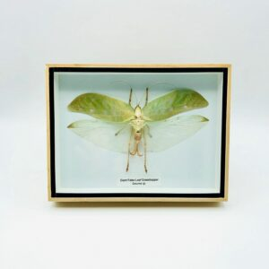 Giant False Leaf Grasshopper in a natural wood frame