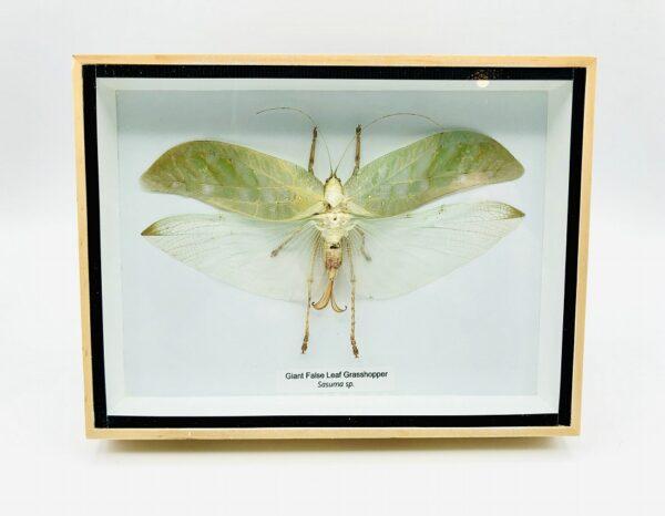 Giant False Leaf Grasshopper in a natural wood frame