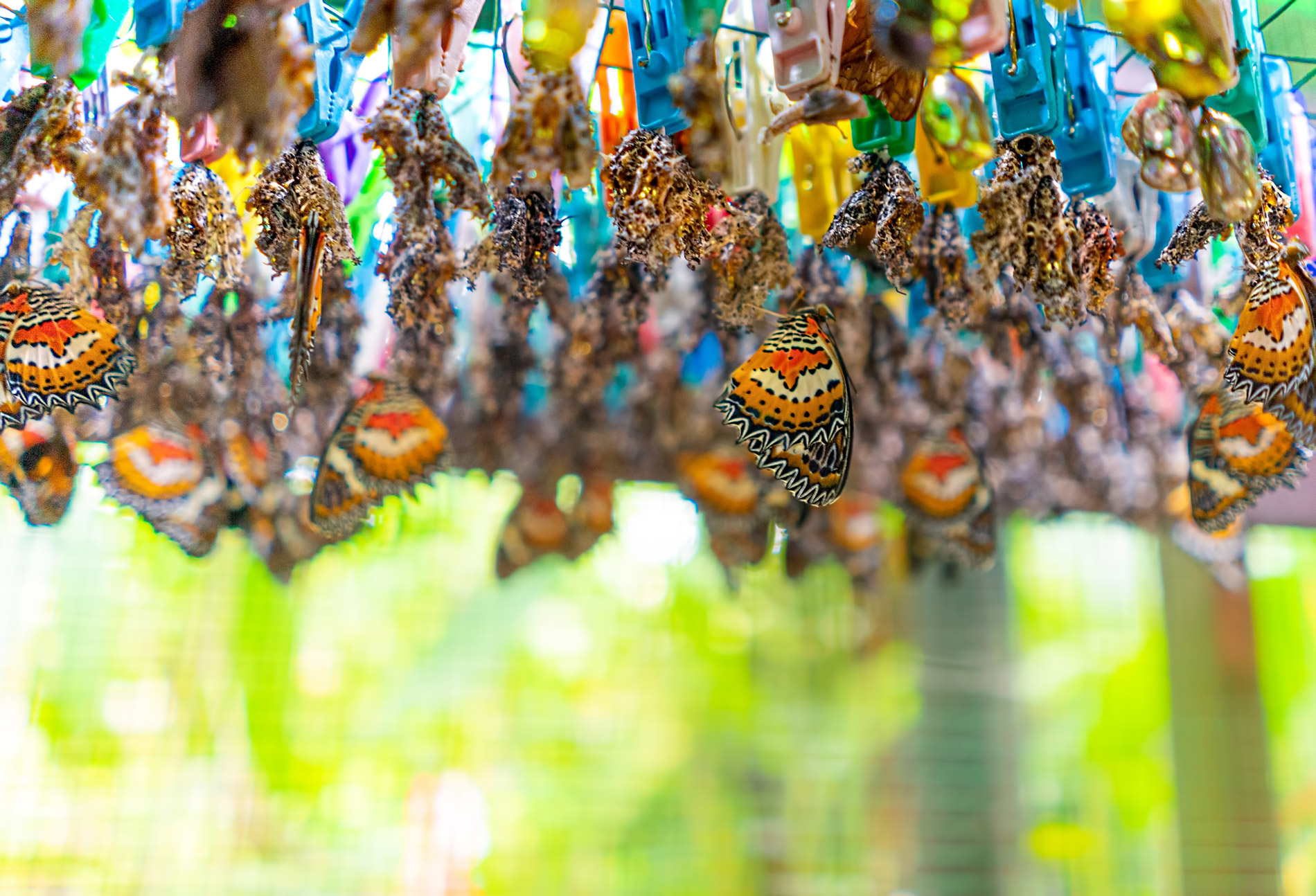 The sustainable evolution of butterfly breeding
