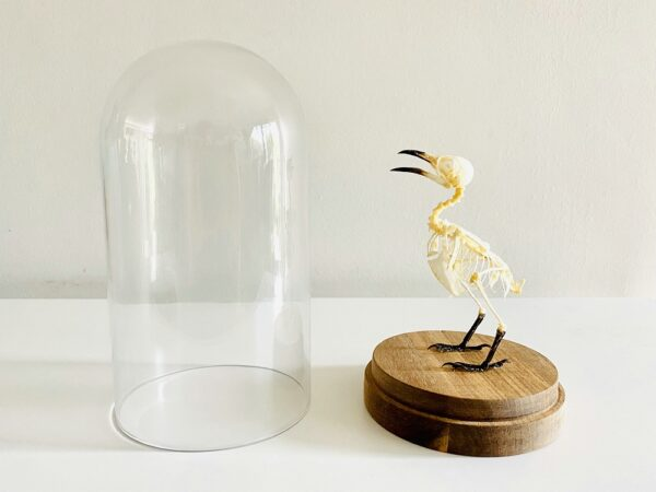Glass dome with skeleton of yellow-vented bulbul