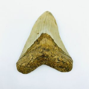 Megalodon (Shark) Tooth - Carcharocles megalodon - 11,96cm
