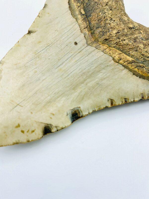 Megalodon (Shark) Tooth - Carcharocles megalodon - 11,96cm
