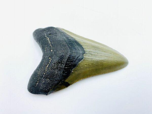 Megalodon (Shark) Tooth - Carcharocles megalodon - 8,12cm