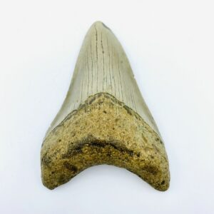 Megalodon (Shark) Tooth - Carcharocles megalodon - 9,68cm
