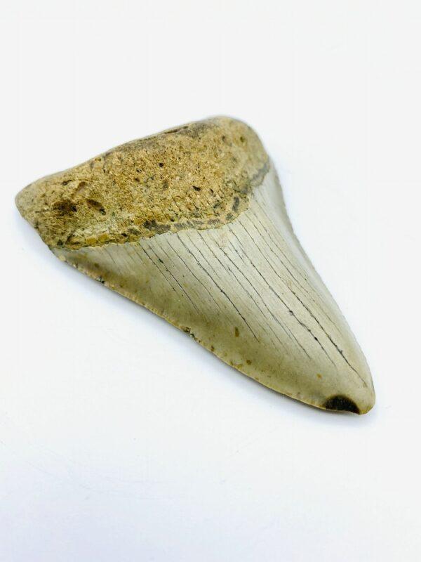 Megalodon (Shark) Tooth - Carcharocles megalodon - 9,68cm