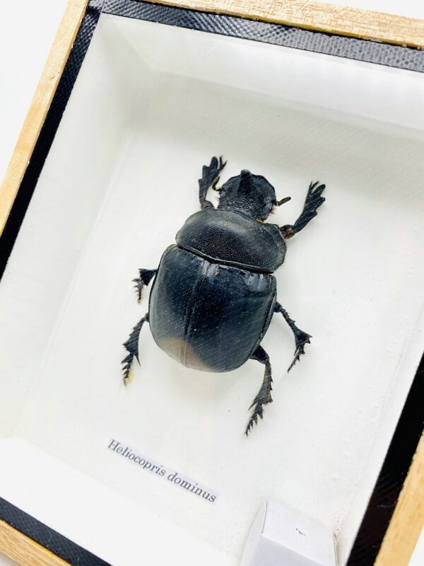 Framed Real Elephant Dung Beetle (Heliocopris dominus)