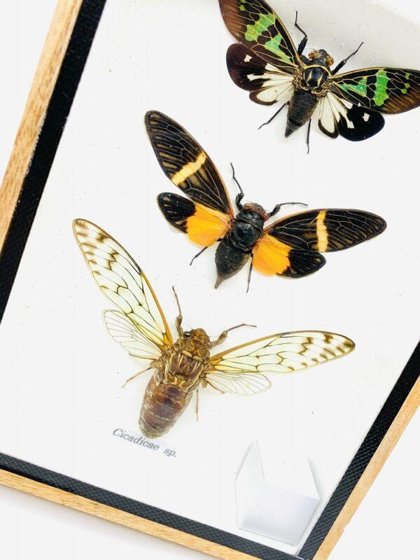 3 Cicadas (Cicadicae sp.) in a wooden frame
