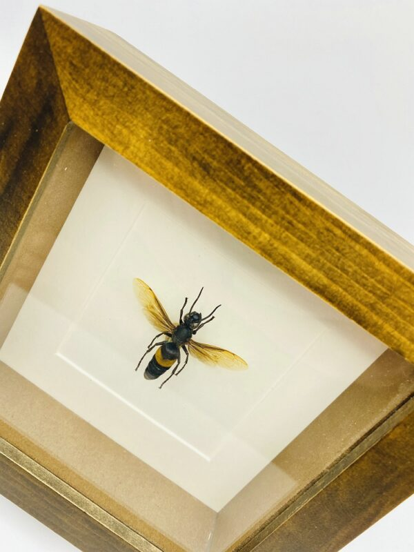 Wooden frame with real Greater banded hornet (Vespa Tropica)