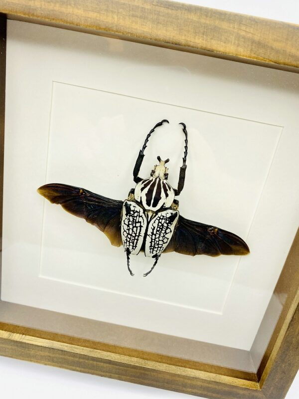 Wooden frame with real Goliath Beetle (Goliathus Orientalis)