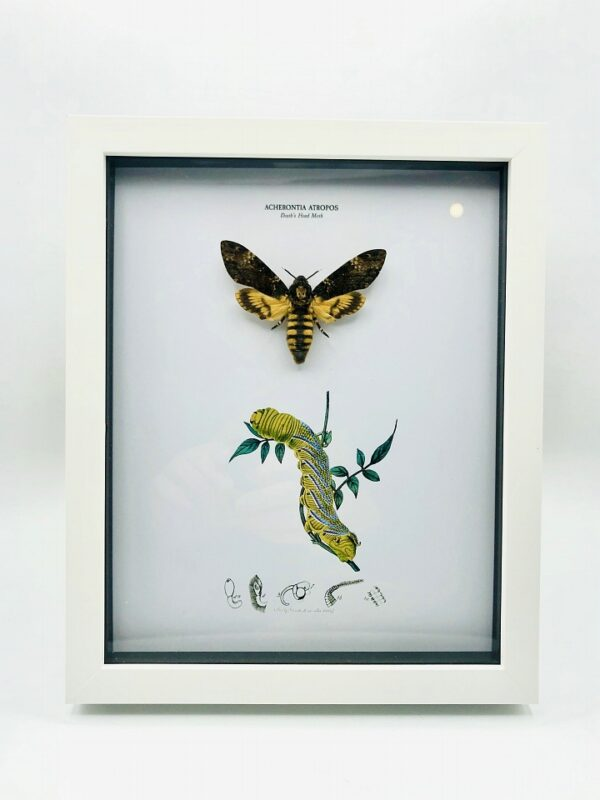Real Death's-head Hawkmoth (Acherontia atropos) with vintage illustrations