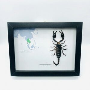 Educational shadow frame with real forest scorpion