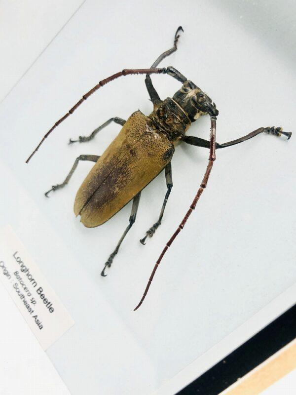 Framed Longhorn Beetle (Batocera numitor ajax)