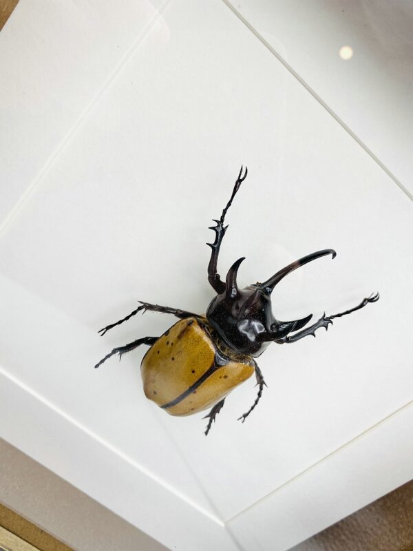 Wooden frame with real Atlas Beetle (Chalcosoma Atlas)