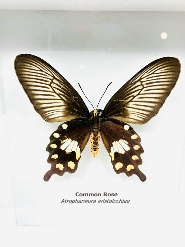 Framed Common Rose (Atrophaneura aristolochiae) butterfly