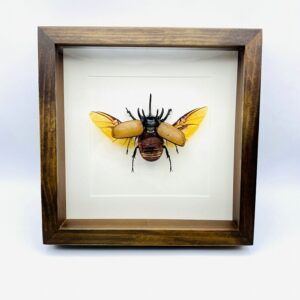 Wooden frame with real spread Atlas Beetle (Chalcosoma Atlas)