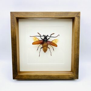 Wooden frame with real longhorn beetle (Rhaphinodus Hopri)
