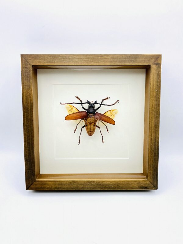 Wooden frame with real longhorn beetle (Rhaphinodus Hopri)