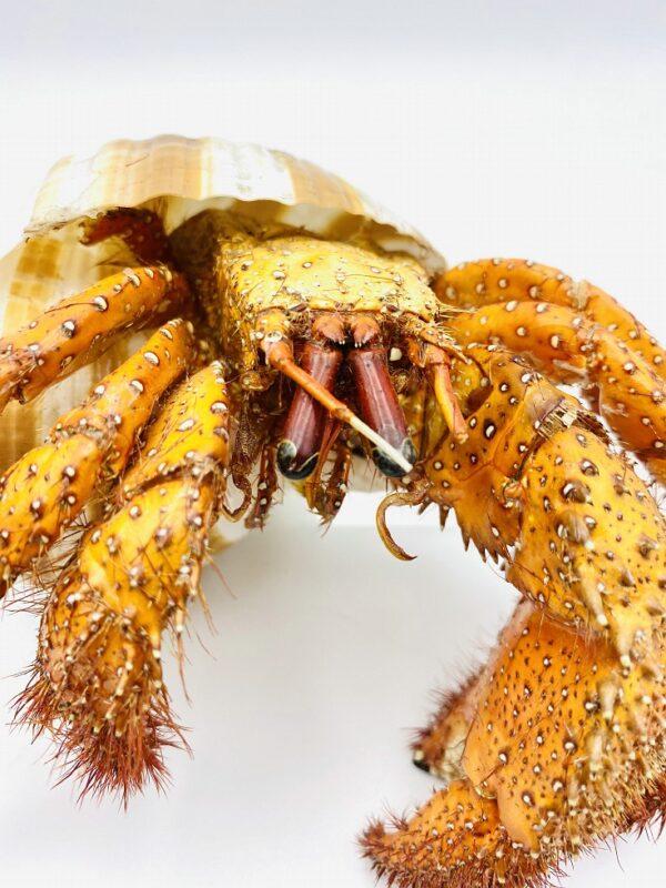 White-spotted Hermit Crab - Dardanus megistos - 15cm