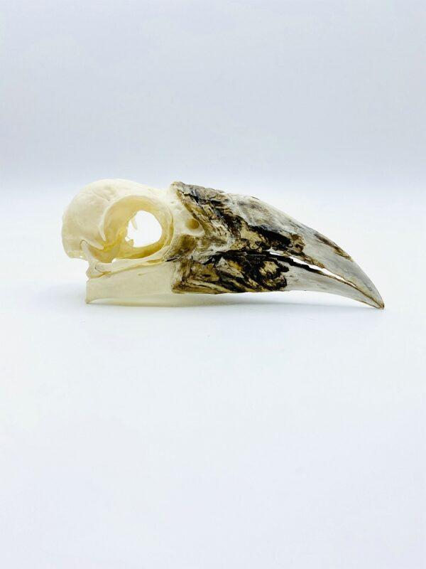Female Western Piping Hornbill skull - Bycanistes fistulator - 11.5cm