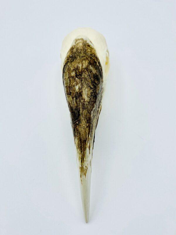 Female White-thighed Hornbill skull - Bycanistes albotibialis - 15cm