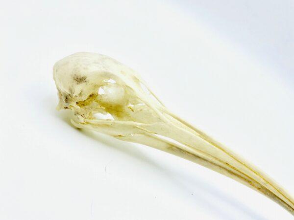 African Sacred Ibis skull (Threskiornis aethiopicus) - 21cm