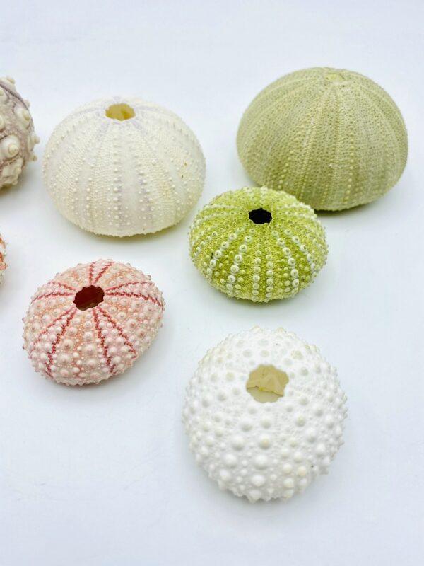 Nice set of 7 Sea urchins (incl. Coelopleurus longicollis)