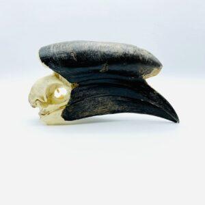 Male Black-casqued Hornbill skull - Ceratogymna atrata - 19cm
