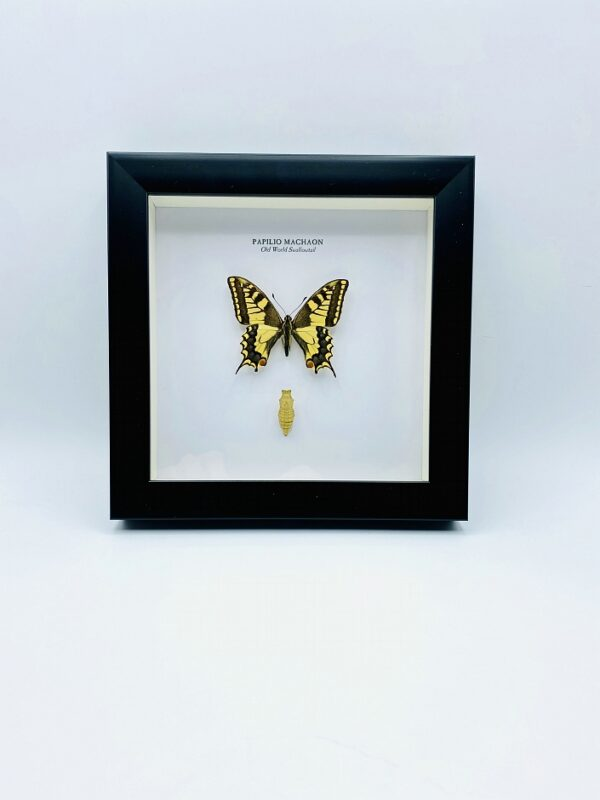 Wooden frame with Old Swallow-tail (Papilio Machaon) including cocoon