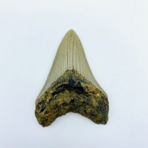 Megalodon (Shark) Tooth - Carcharocles megalodon - 8,75cm